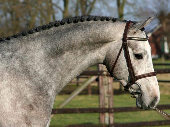 Warmbloods horses for sale | Benny de Ruiter Stables